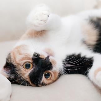 Callie: Female Calico Cat