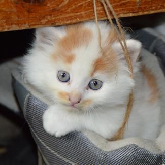 Caramel: Female Kitten