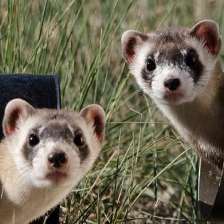 Bo & Duke: Bonded Ferret Brothers