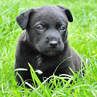 Rocky: Male Black Lab Pup