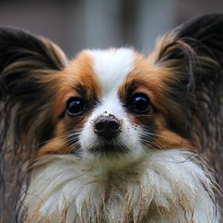 Bert: Male Papillon Pup