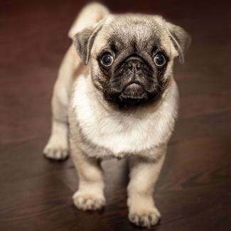 Phillis: Female Pug Pup