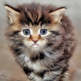 Puff: Female Tom Kitten
