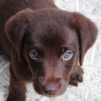 Precious: Female Chocolate Lab Pup