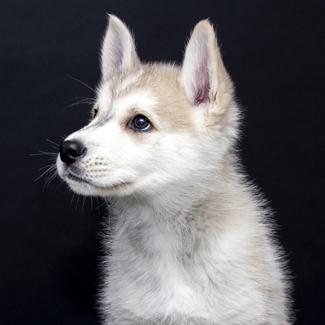 Fang: Male Husky/Wolf Hybrid Pup
