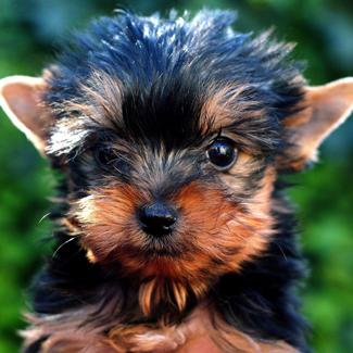 Edward: Male Bichon Tzu Pup