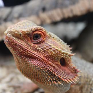 Frank: Bearded Dragon