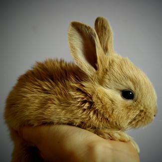 Butter: Male Dwarf Rabbit