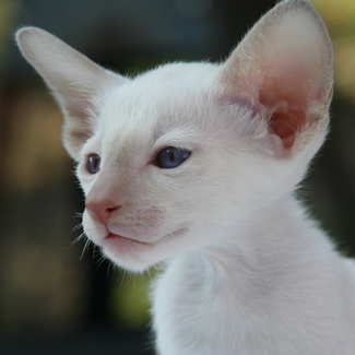 Elliot: Male Albino Siamese Kitten