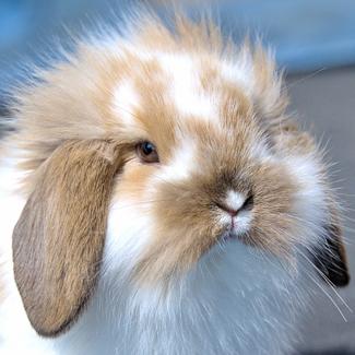 Leddy: Female Lop Eared Rabbit